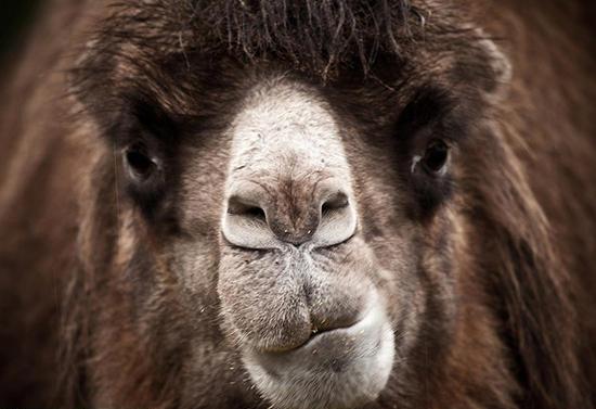 этнопарк кочевник, верблюжья ферма в москве