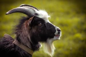 коза зооферма