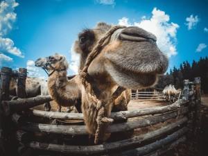 верблюды в подмосковье