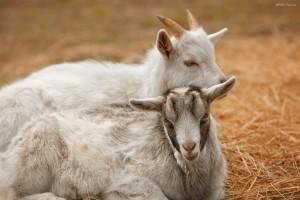 зоопарк козы