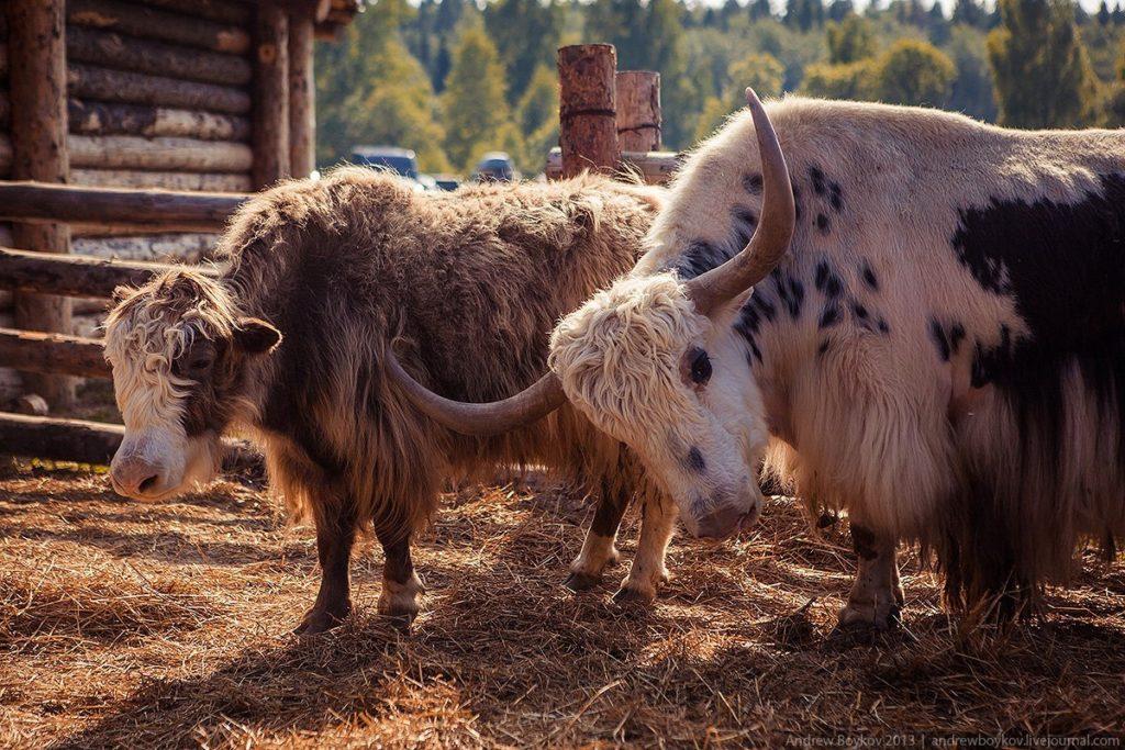 экскурсия кочевые животные