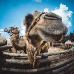 верблюды Экскурсия на зоодвор