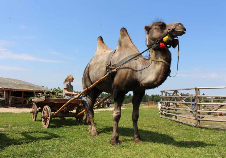 Отзывы о Катание на верблюде (Египет, Хургада) | 523x747