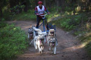 катание на собаках летом
