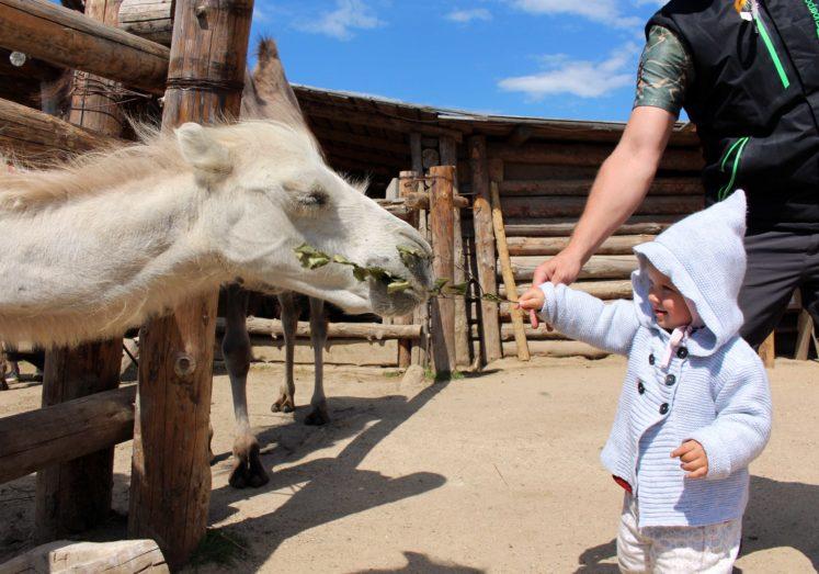 верблюжья ферма